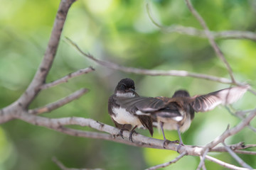 Two birds (Malaysian Pied Fantail) in nature wild