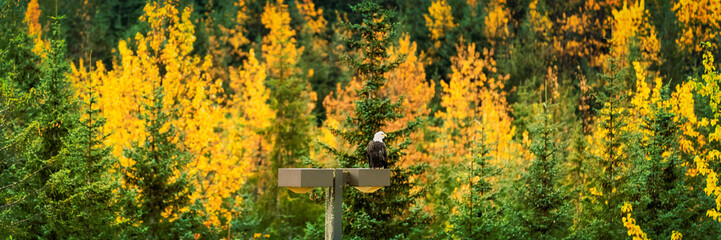 Bald Eagle wildlife in Alaska forest in autumn foliage trees background panorama banner.