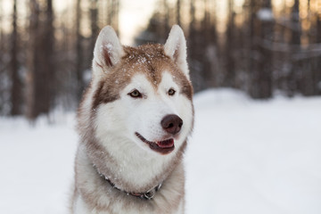 Close-up portrait of dog breed siberian Husky sitting on the snow in winter forest at sunset.