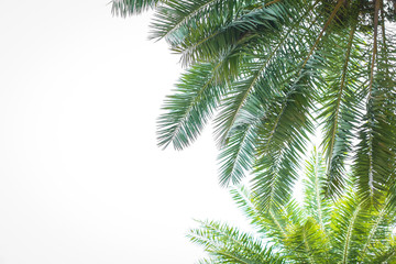 Palms isolated on white background with copy spase