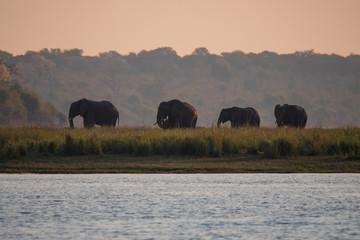 Herds of Elephants in Chobe National Park, Botswana