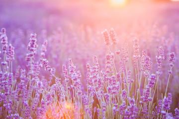 Violet bushes closeup on sunset. Lavender for decoration design. Sunset gleam over purple flowers...