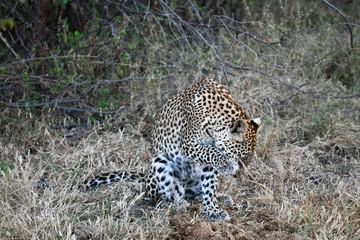 Leopard im Moremi Reserve