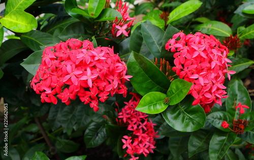 Beautiful photo of pink spike flowers or ixora stock photo and beautiful photo of pink spike flowers or ixora mightylinksfo
