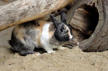 Full body of beige-grey-white domestic pygmy rabbit (bunny)