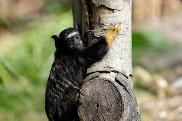 Portrait of of the child red-handed midas tamarin New World monkey