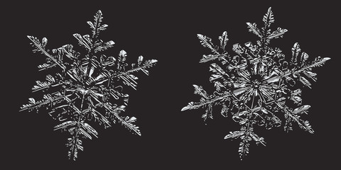 Two snowflakes on black background. This vector illustration based on macro photo of real snow crystals: small stellar dendrites with hexagonal symmetry, ornate shape and thin, elegant arms.