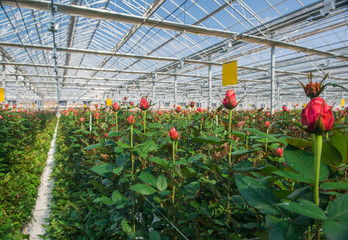 Fototapeta large industrial greenhouse with Dutch roses, the overall plan obraz