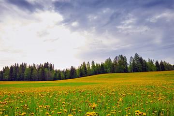 field of dandelions in bloom in Finland