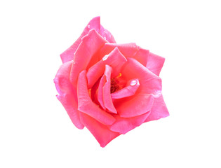 Closeup pink rose flower on isolated white background for decoration your work.