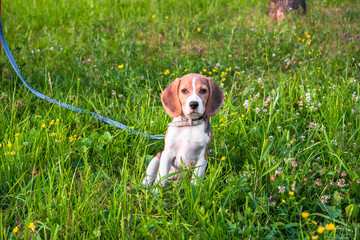 A smart beagle puppy on a walk in the city Park. Tricolor Beagle puppy is watching a peaceful summer landscape.