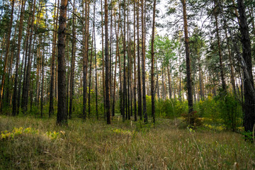 evening in pine forest in autumn