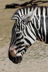 Portrait profile of African striped coat zebra