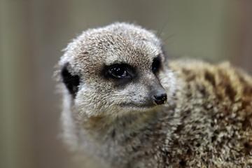 Portrait of sitting wild African Meerkat (Suricata suricatta)