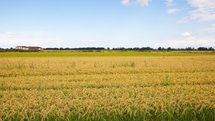 Italian rice fields in summer