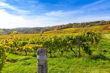 Weinberge im Herbst, Deutsche Weinstraße in der Nähe von Bad Bergzabern