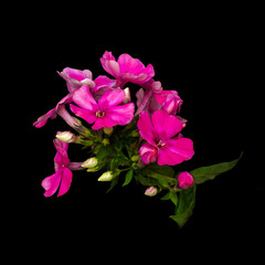Fine art still life color floral macro of a single isolated cluster of red phlox blossoms and leaves on black background