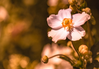 Color outdoor floral image of a white blooming autumn anemone blossom with buds taken on a sunny summer day with natural blurred garden background in warm yellow brown tones