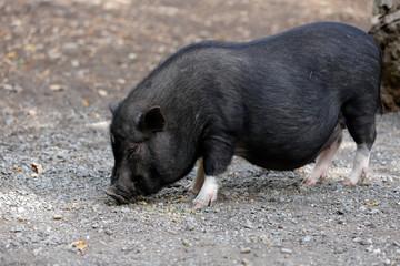 Full body of black pig breed Vietnamese Pot-bellied