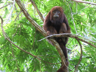 howler monkey eating and chilling out