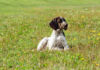 german shorthaired pointer, german kurtshaar one spotted puppy  lying on green grass, with fine yellow flowers and yellowing autumn vegetation, looks aside, brown ears and white wool