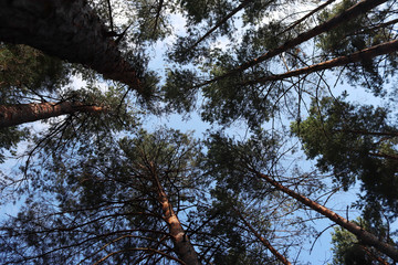 View up. High tops of pine trees reach for the blue sky. In the woods