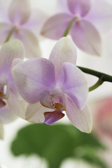 Delicate orchid flower close-up and light background