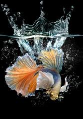 Action betta with splash water