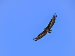 Batteleur Eagle