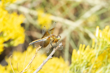 Band-winged Meadowhawk  Dragonfly (Sympetrum semicinctum) Perched on a Thin Branch in Colorado
