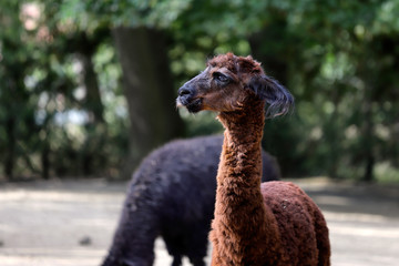 Portrait of brown domesticated Alpaca (Vicugna pacos) species of South American camelid