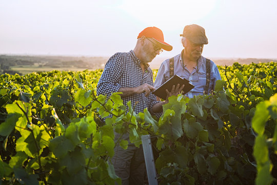 Winegrowers using a tablet, in their vines at sunset.
