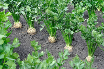 close-up of celery plantation (root and leaf vegetables)  in the vegetable garden, view from above