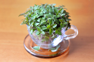 Thyme in transparent cup