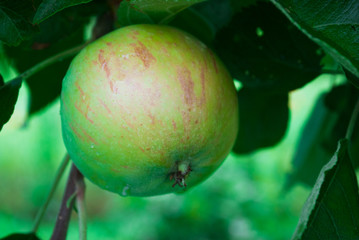 Apple tree with small green natural apple