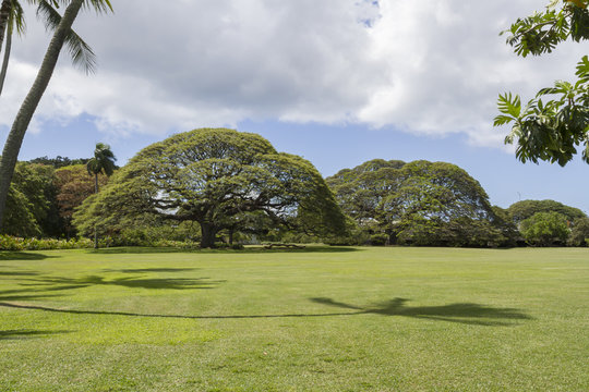 Giant Monkey Pod trees at Moanalua Gardens Oahu Hawaii
