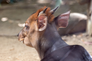 Fototapeta Black Duiker - Cephalophus niger AKA tuba in Dyula obraz