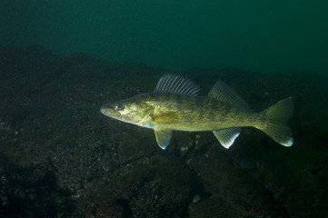 Walleye fish in the St-Lawrence River