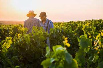 Two French winegrowers in their vines at sunset
