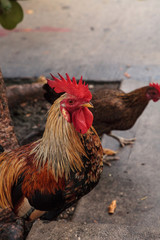 Roosters and chickens, called gypsy chickens or Cubalaya by the locals of Key West