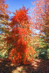 Autumn tree fully covered with bright red leaves on sunny day