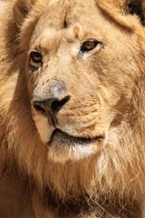 African Lion - Panthera leo - Male