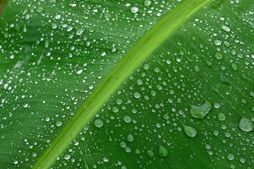 Rain drops on green banana leaves.