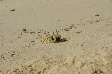 Horn-eyed ghost crab, Ocypode cerathopthalma.