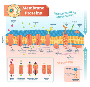 Membrane proteins labeled vector illustration. Detailed structure scheme.