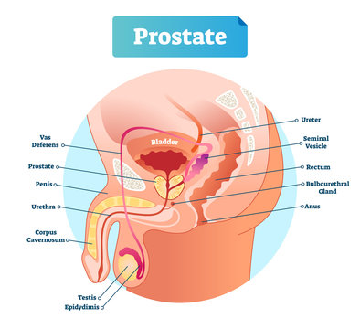 Prostate labeled vector illustration. Educational male anatomy scheme.