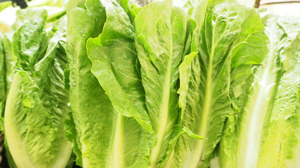 Close up of A group of chinese cabbage in the gourmet market.