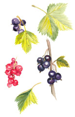 Watercolor black and red currants illustrations on white background