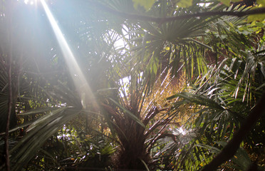 Bright sunlight passes through the foliage of a palm tree.