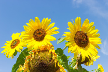 Flowers of sunflower and ripening sunflower heads against of sky